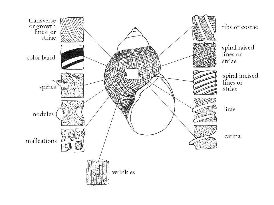 glossary of snail terms used in rh northamericanlandsnails org Scallop Shell Diagram of External External Diagram of Clam Shell